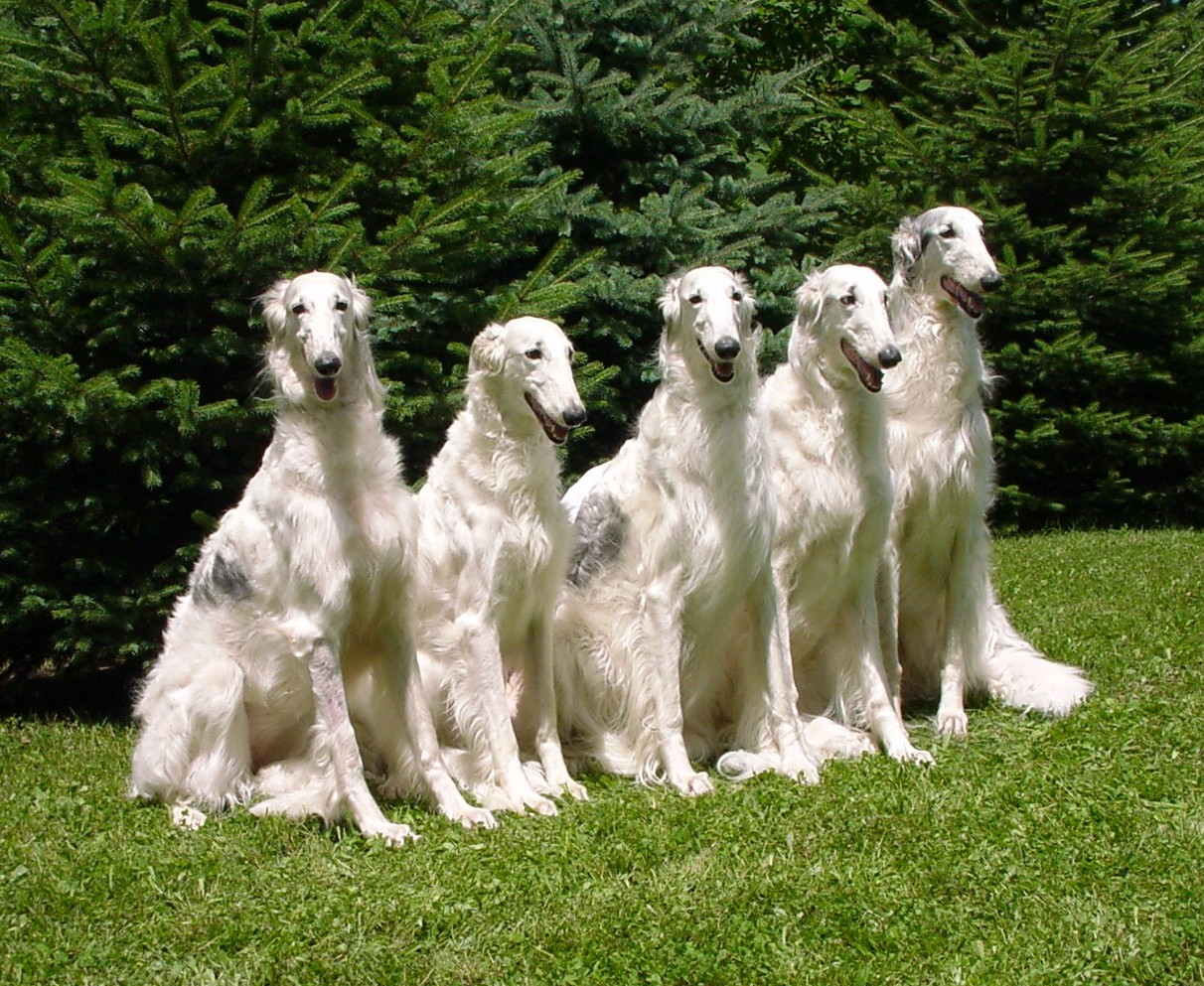 Borzoi | Dog Car Seats